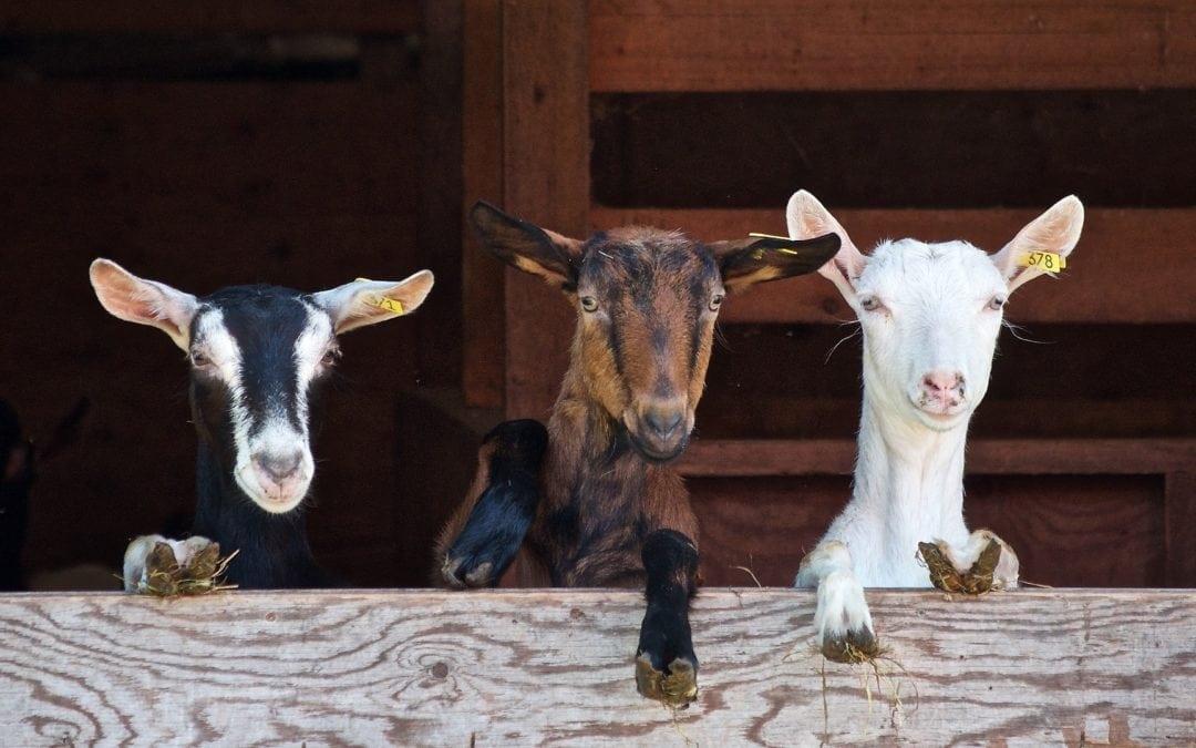 5.000 chèvres à Gibecq ? Écolo soutient l'agriculture paysanne